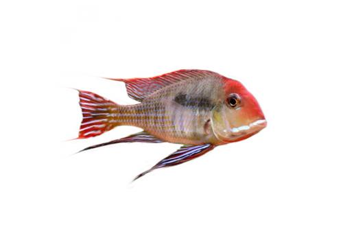Геофагус Красноголовый Geophagus sp. Tapajos Red Head, 7-8см