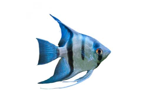 Скалярия голубая 2-3см