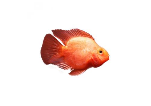 Попугай красный Red Parrot 15-18см