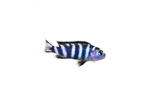 Псевдотрофеус демасони Pseudotropheus demasoni 2-3см
