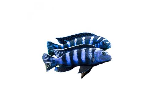 Псевдотрофеус демасони Pseudotropheus demasoni 3.5-4см