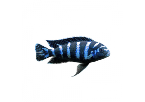 Псевдотрофеус демасони Pseudotropheus demasoni 7-8см