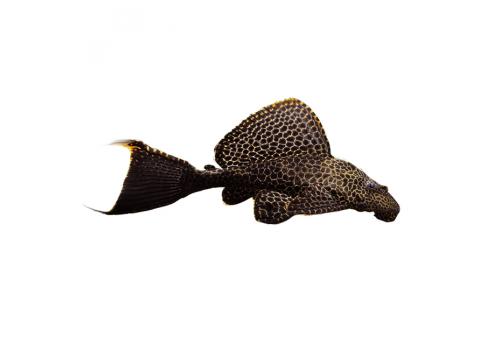 Птеригоплихт парчовый Pterygoplichthys gibbiceps 10см