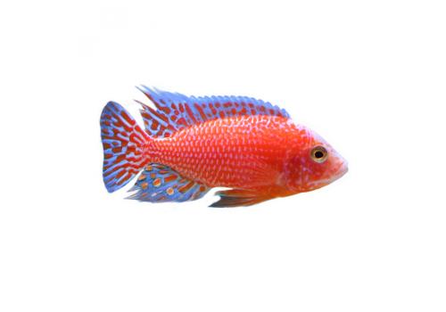 Аулонокара красный дракон (Aulonocara spec. firefish) 6-7см