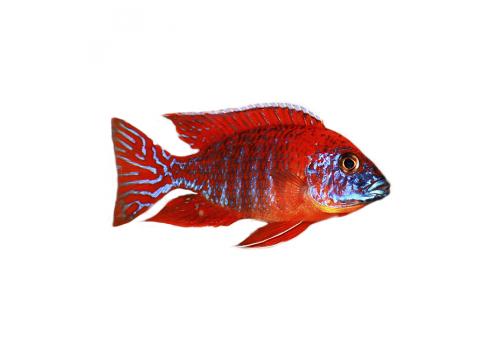 "Аулонокара ""Рубин Ред"" Aulonocara spec. Rubin Red (roter Kaiser) самцы 10-12см"