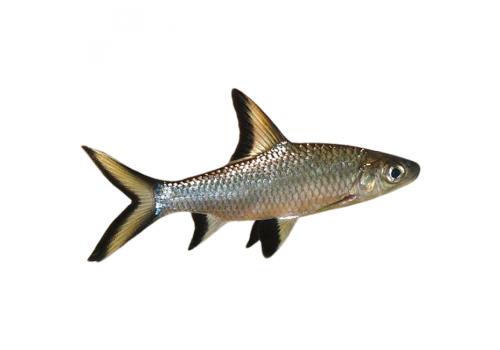 Акулий бала Balantiocheilos melanopterus 12см