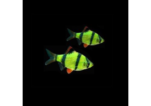 Барбус суматранус зеленый Puntius tetrazona Glofish 2см