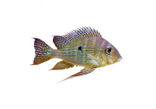 Геофагус суринамский  6-7см