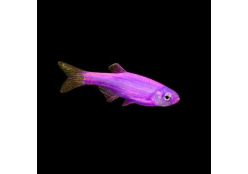 Данио GloFish ежевика