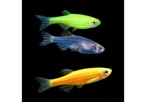 Данио GloFish зеленая,синяя,золотая