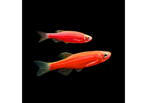 Данио GloFish красная, синяя