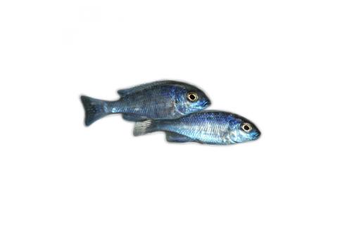 Голубой дельфин Cyrtocara moorii 2-3см