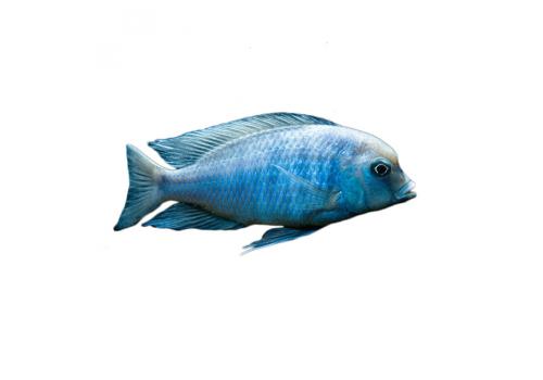 Голубой дельфин Cyrtocara moorii 4см