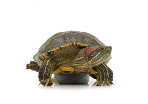 Черепаха красноухая (малая)