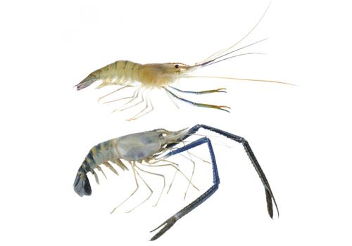 Креветка макробрахиум розенберга 7-8см