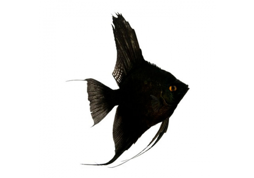 Скалярия Черный бархат
